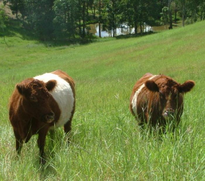 3 Red Belted cows in calf to Dun belted Bull for sale