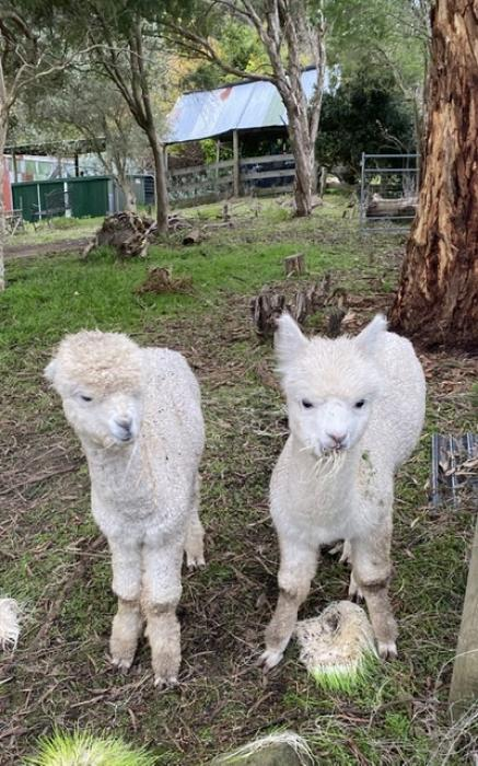 Pair of young (6 Months) Alpaca Males For Sale $660 inc gst