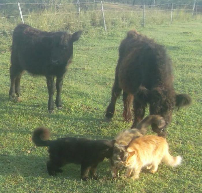 Miniature Galloway Steer, 1Black Belted Bull & 1Red Heifer