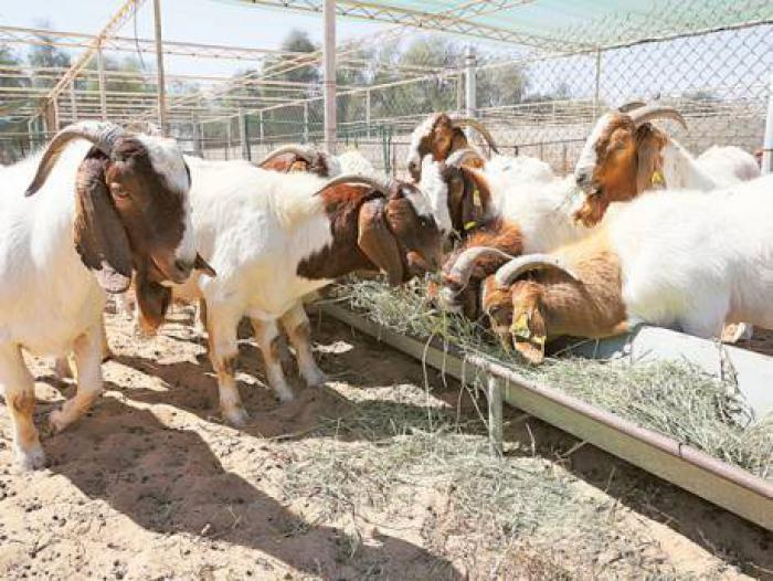 Kalahari red & pure Boer goats for sale
