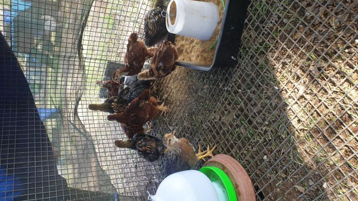 PUREBRED PULLETS(GIRLS)