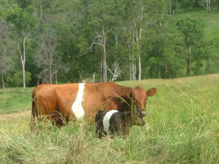 Red Belted Cows with calf at foot & pregnant Ones